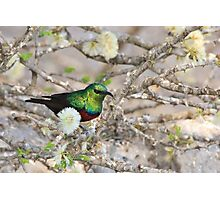 Marico Sunbird - African Wildlife - Iridescent Colors and Beauty Photographic Print