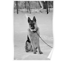 Staying watch - German shepherd Poster