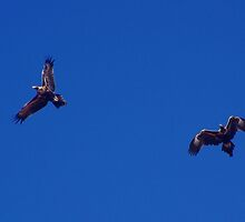 Young Wedgetail Eagles by BigAndRed