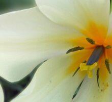 Gentle Tulip Sticker
