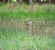 Ducks in the pond by ndarby1