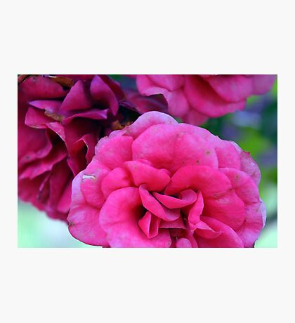 Pink roses, natural composition. Photographic Print