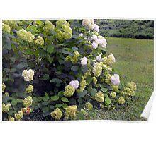 Bush of white flowers in the garden. Poster