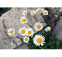 Beautiful small white flowers on the pavement. Photographic Print