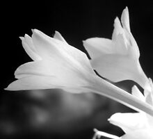 TEXAS RAIN LILIES IN BLACK AND WHITE by Sandra  Aguirre