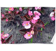 Beautiful fragile pink flowers on the ground. Poster