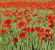 Poppy fields forever by Heather Thorsen