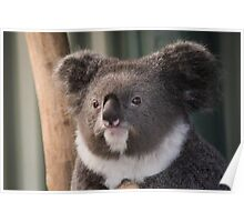Sir Koala - Featherdale Wildlife Park Poster
