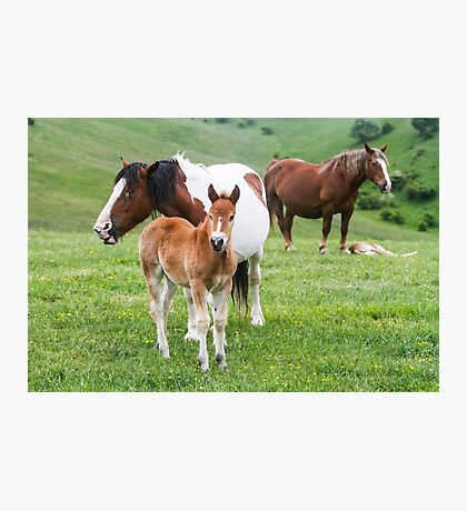 Horses grazing in a green meadow  Photographic Print
