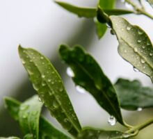 Olive leaf with dew drops  Sticker