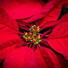 Poinsettia by Keith G. Hawley