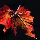 Autumn Leaves - Araluen Botanical Park by Daniel Carr