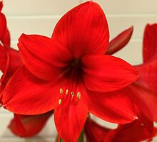 Red Flower by emilysmithart