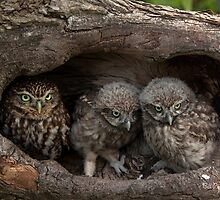 Little Owl and Chicks by Norfolkimages
