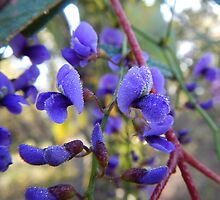 Hardenbergia comptoniana by CLaceyNaturArts