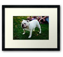 Cute Bulldog Framed Print