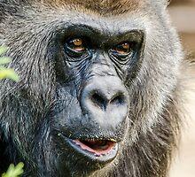 Gorilla by Darren Wilkes