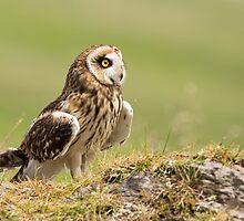 Short Eared Owl, Scotland  by LisaLouise