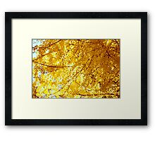 Sunlit Ginkgo Tree in Fall Framed Print