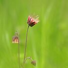 Water avens by miradorpictures