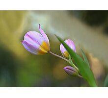 Springtime tulips  Photographic Print