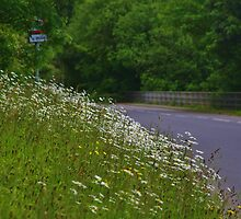Roadside flowers (Leucanthemum vulgare) by lezvee