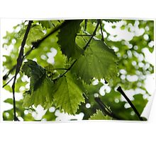 Green Summer Rain with Grape Leaves Poster