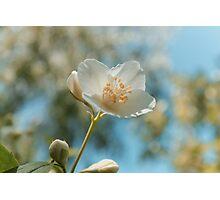fresh jasmine flowers Photographic Print