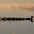 Ducks at sunset by nealbarnett