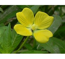 Narrow-Leaf Water Primrose, Mexican Primrose-Willow Photographic Print