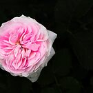 Pink flower in bloom by Josef Pittner
