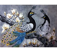 Peacock date in a magnolia tree Photographic Print