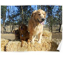 Golden Retriever on a Hay Bale Poster