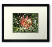 Grevillea Superb Framed Print