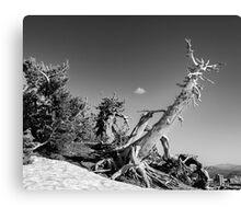 Crater Lake Pine Monochrome Canvas Print
