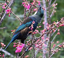 The Tui in the Cherry tree........! by Roy  Massicks