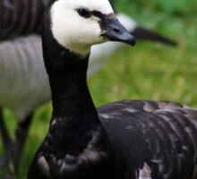 Swedish black gosling Sticker