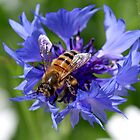 Cornflower +Bee by John Thurgood