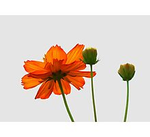 Orange cosmos flower taken against the sky Photographic Print