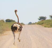 Ostrich - African Wild Birds - Road Runner by LivingWild