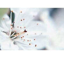 White Cherry Blossom Photographic Print