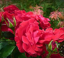 *Kardinal Red Rose - Garden 2015* by EdsMum