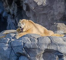 Sea World Polar Bear Hudson by Ann Pinnock