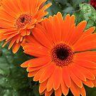 Orange Blush by Juli Cady Ryan