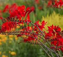 A bed of red Crocosmia by Judi Lion