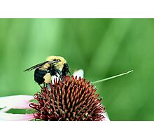 Pollen Collecting Photographic Print