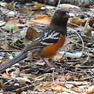 Just Spotted a Spotted Towhee by Bunny Clarke