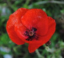 A Poppy By Any Other Name by xiiiblackcat