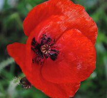 Is still A Poppy by xiiiblackcat