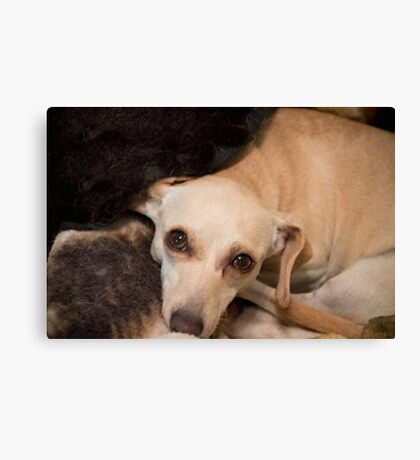 Chiweenie  Miracle Rescue Canvas Print